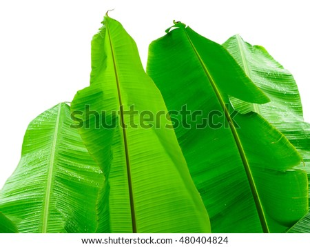 Banana leaf after rain isolated on white background