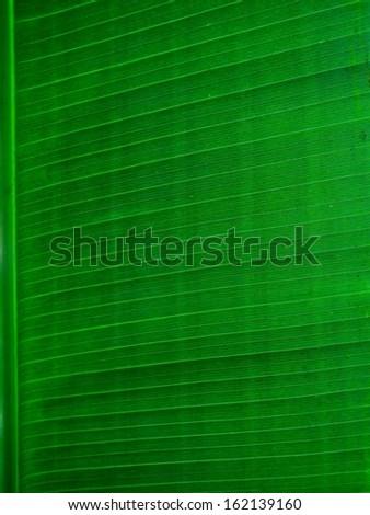 Banana leaf background - stock photo