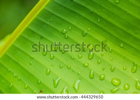 Banana leaf background in nature, Thailand