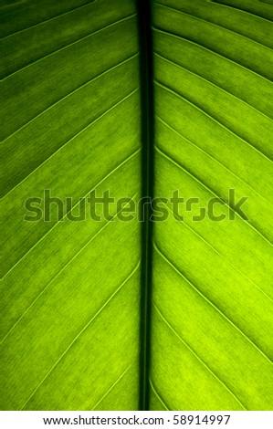 Banana leaf close up detail - stock photo