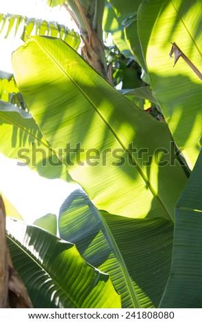 Banana leaf  Illuminated  by sunlight background - stock photo