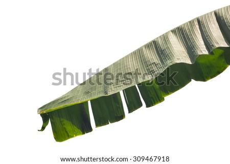 Banana leaf isolated - stock photo