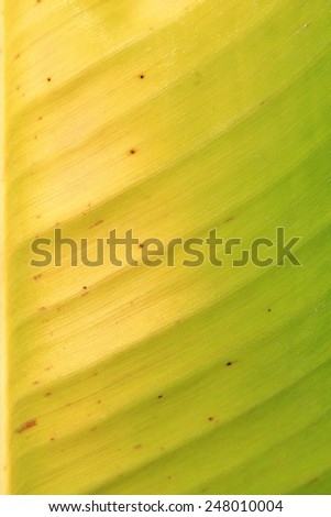 Banana Leaf - Nature Background - Textures, Colors and Shapes within Nature - stock photo