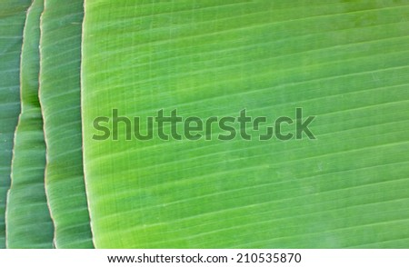 Banana leaf texture abstract background - stock photo