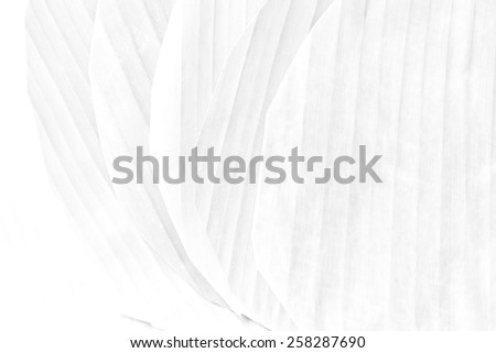 Banana leaf texture background Soft tone White color - stock photo