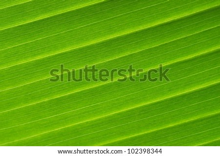 Banana Leaf Vein Series - stock photo