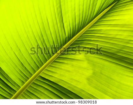 banana leaf veins and the sun shines right through it, light and shadow - stock photo