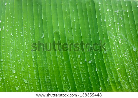 banana leaf with water drops