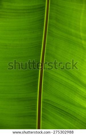 Banana Leaves Background - stock photo