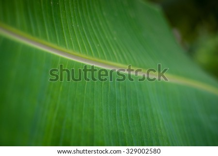 banana leaves bright green background of nature. - stock photo
