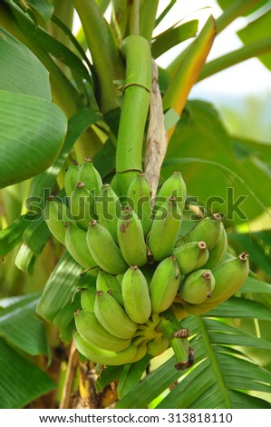 banana on the banana tree - stock photo