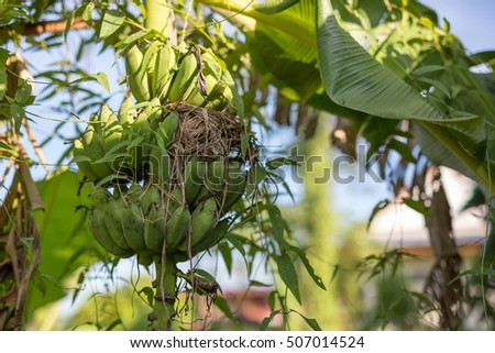 banana plant with a bird nest in nature