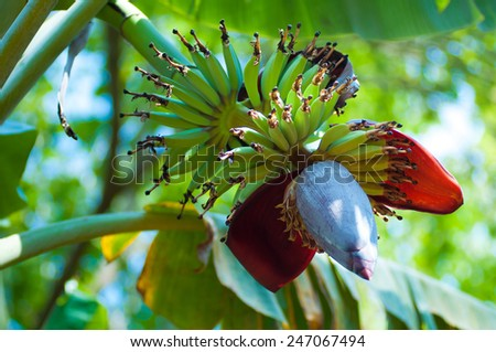 Banana plant with fruits growing in nature - stock photo