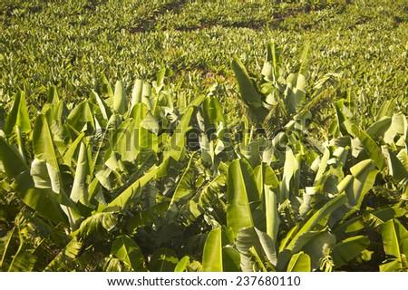 Banana plantation in La Palma. Canary Islands. Spain - stock photo