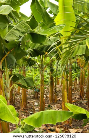 Banana plantation in the province of Montenegro, Colombia. Symbol of the Green Revolution, with the massive use of pesticides and agrochemicals. - stock photo