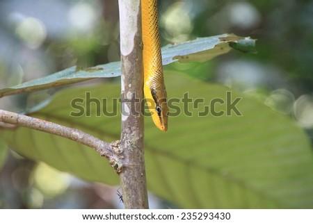 Banana snake close-up, Borneo - stock photo