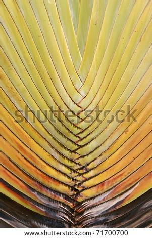 Banana stem and progression of colors. - stock photo