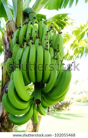 Banana Tree - stock photo