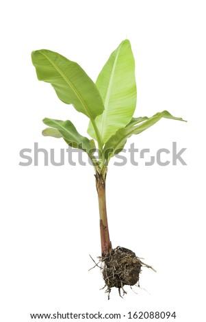 Banana tree isolated on white background. - stock photo