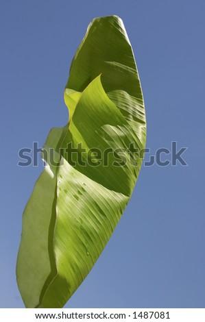 banana Tree, leaf - stock photo