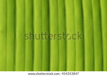 Banana tree leaf closeup natural background texture.