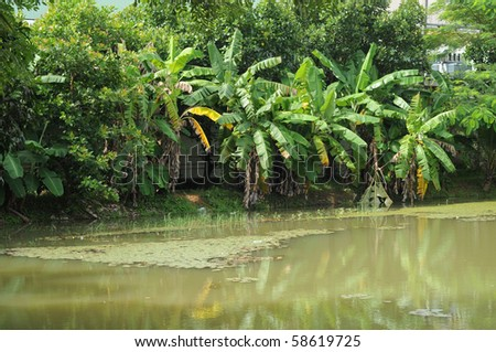 banana tree plantation - stock photo