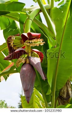 Banana tree with a blossom - stock photo