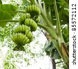 Banana tree with a bunch of bananas - stock photo
