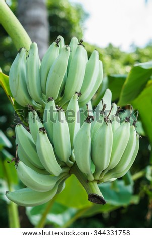 Banana tree with a bunch of green bananas