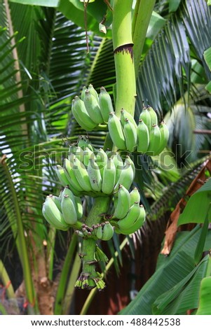 Banana tree with A bunch of growing bananas