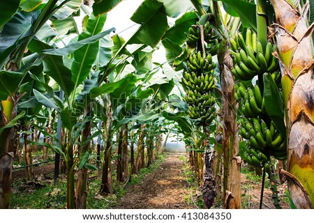 Banana tree with a bunch of growing bananas, Alanya, Turkey - stock photo
