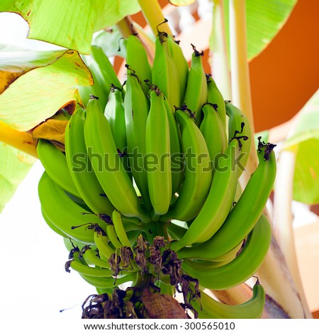 Banana tree with flower and green fruits