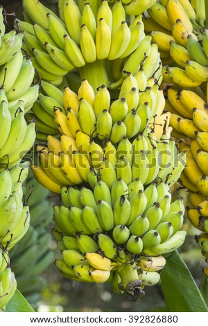 Bananas, ripe cultivated banana in the garden, in Thailand. - stock photo