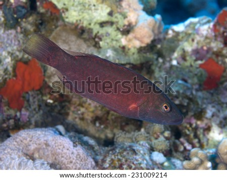 Bandcheek wrasse in Red sea, Egypt, Hurghada - stock photo