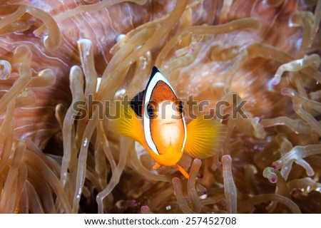 Banded Clownfish in a host anemone - stock photo