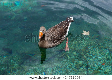 Banded duck floating in transparent turquoise water of the Alpine lake - stock photo