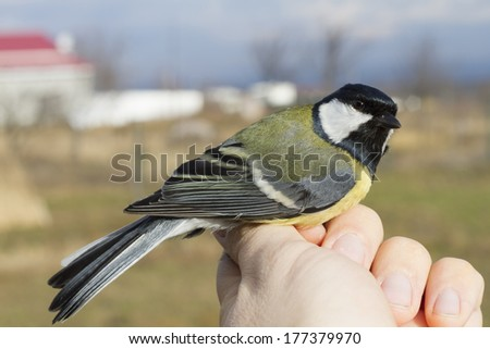 Banded Great Tit (Parus major) in hand - stock photo