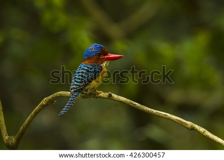 Banded kingfisher male in the nature.