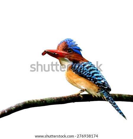 Banded Kingfisher, the beautiful crested blue bird carrying food in his mouth to feed its chicks isolated on white background - stock photo