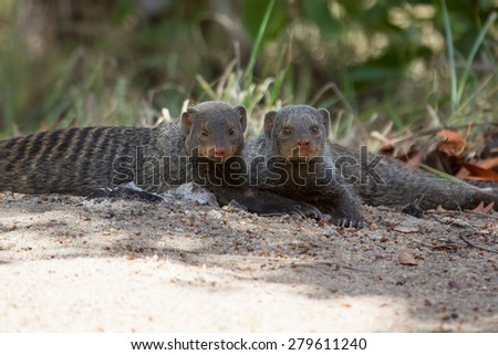 Banded mongoose rest lying flat on the sand - stock photo