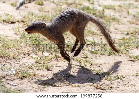 Banded Mongoose Running at Etosha National Park in Nambia, Africa - stock photo
