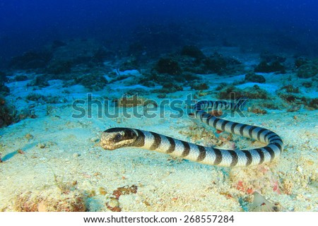 Banded Sea Snake - stock photo