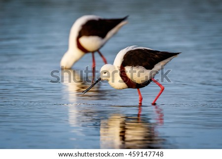 Banded Stilt Stilt on Australian wetland