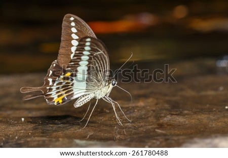 Banded swallowtail butterfly (Papilio demolion) sucking food - stock photo