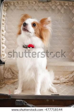 Great Papillon Canine Adorable Dog - stock-photo-bangkok-sept-cute-dog-portrait-papillon-puppy-species-continental-toy-spaniel-477718144  2018_797891  .jpg