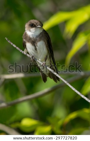Bank Swallow perched on a branch. - stock photo