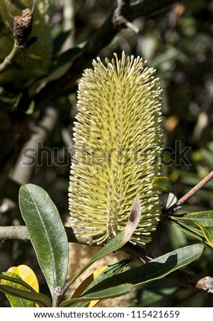 Banksia wildflower is a species endemic to Australia