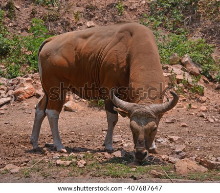 Banteng or Red Bull,OX animal.