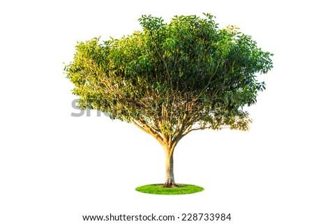 banyan fig tree isolated on white background - stock photo