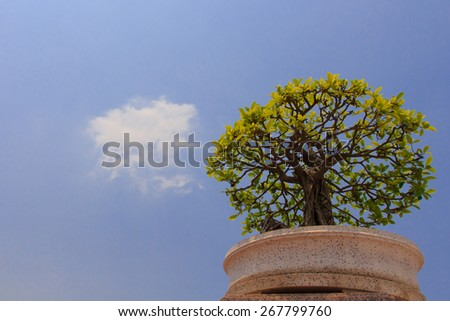 banyan or ficus bonsai tree - stock photo
